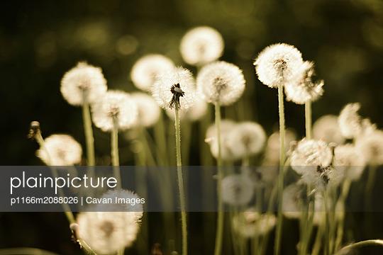Close up of dandelion. - p1166m2088026 by Cavan Images