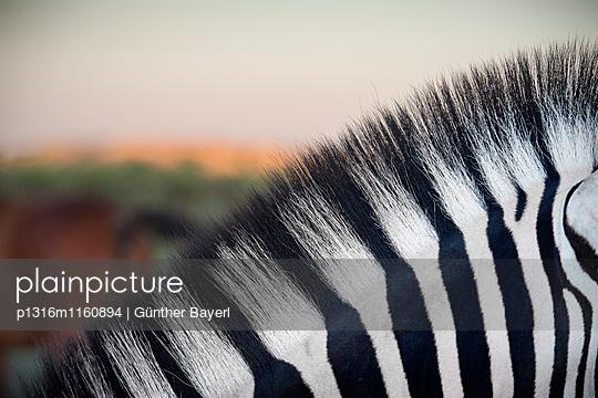 Detail vom Fell eines Zebra, Etosha National Park, Namibia, Afrika - p1316m1160894 von Günther Bayerl