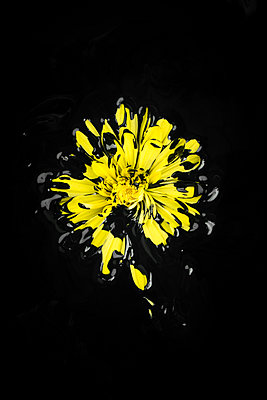 Painted Gerbera in front of black background - p919m2195662 by Beowulf Sheehan