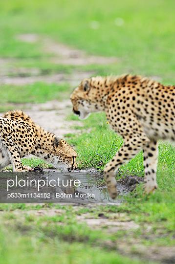 Zwei Geparde am Wasserloch - p533m1134182 von Böhm Monika