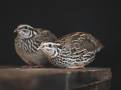 Two quails - p1522m2064645 by Almag