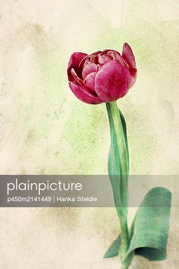 Tulpe in PInk    - p450m2141449 von Hanka Steidle