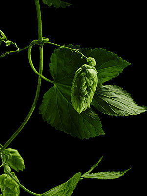 Hopfen-Ranke (Humulus Lupulus) - p897m1073024 von MICK
