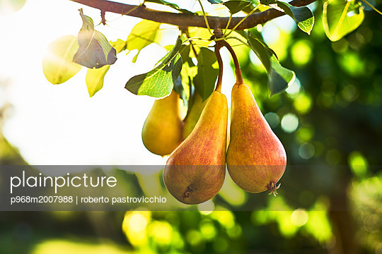 Pears hanging on tree - p968m2007988 by roberto pastrovicchio
