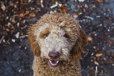 Portrait of Labradoodle on road - p1166m1204260 by Cavan Images