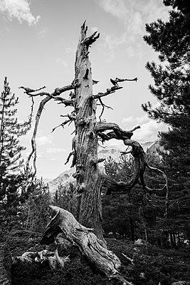 Dead tree in mountains - p1682m2270270 by Régine Heintz