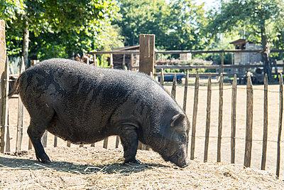Schwein - p1043m1590260 von Ralf Grossek