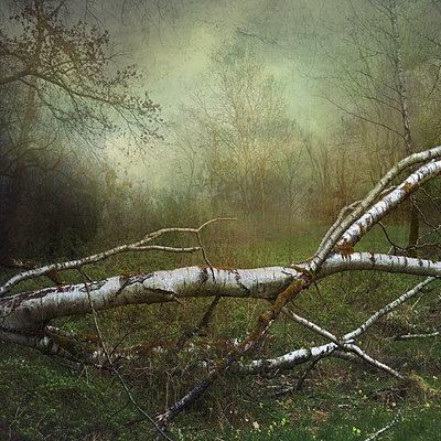 Fallen Birch - p1633m2210041 by Bernd Webler