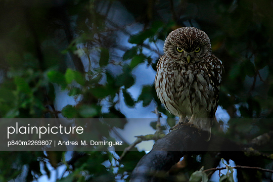 Little owl (Athene noctua) taking shelter from the rain, Arcos de la Frontera, southern Spain. April. - p840m2269807 by Andres M. Dominguez
