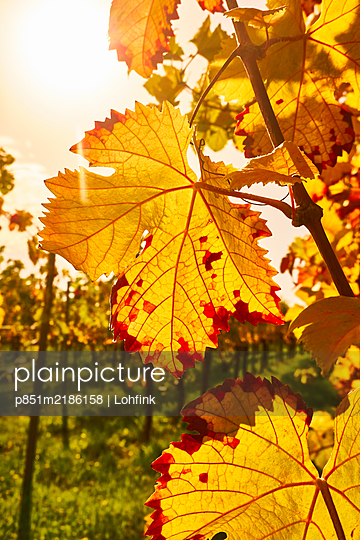 Vineyard - p851m2186158 by Lohfink