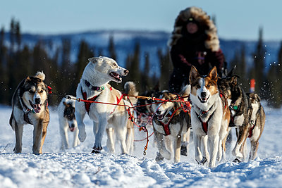 Michelle Phillips team on the trail just prior to the Cripple checkpoint during Iditarod 2016, Alaska.     - p442m1193234 by Design Pics