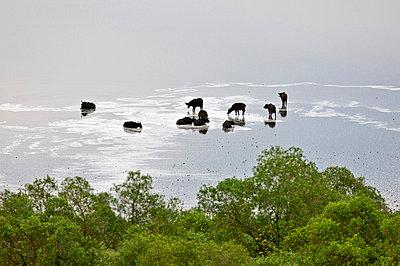 Buffalos wallow in the shallow, mildly saline volcanic crater lake called Lake Nyamunuka in Ugandas Queen Elizabeth National Park, Uganda, Africa - p652m716910 by Nigel Pavitt