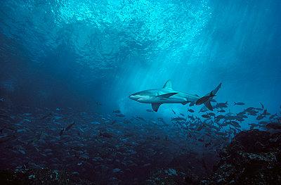 Galapagos Shark underwater portrait - p8845360 by Birgitte Wilms