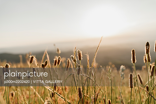 Close-up of dry cattail plants against sky during sunset - p300m2202420 by VITTA GALLERY