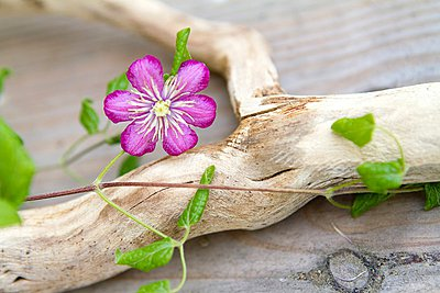 Clematis, climbing up a branch - p1183m997129 by Lutt, Carine
