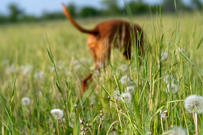Dog in a meadow - p739m2090304 by Baertels
