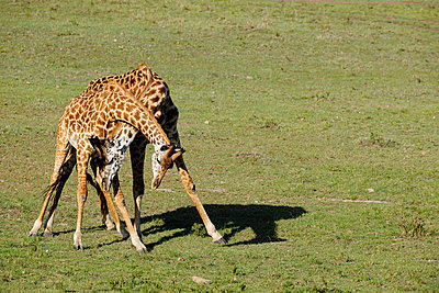 Fighting male giraffes - p533m982493 by Böhm Monika