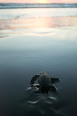 Newborn turtle crawling to the sea - p919m2108338 by Beowulf Sheehan