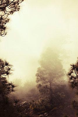 Nebel über Pinienwald - p1255m1152856 von Kati Kalkamo