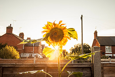 Garden sunflower garden at sunset - p429m896487f by Dan Brownsword