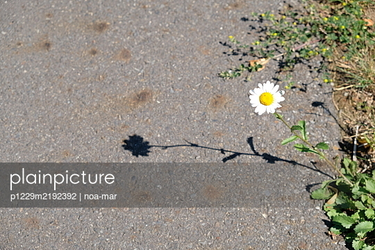 Single marguerite in the sunlight - p1229m2192392 by noa-mar