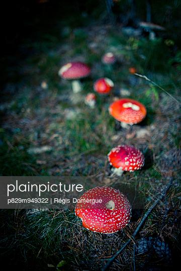 Fliegenpilze - p829m949322 von Régis Domergue
