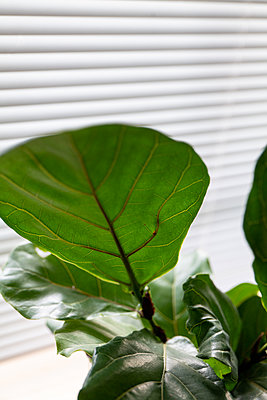 Detail of house plant leaves inside with natural light background - p1166m2212345 by Cavan Images