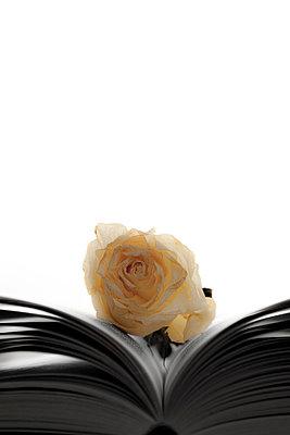 Weiße Rose im Buch - p248m764208 von BY