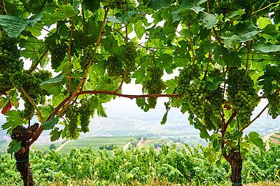 Blick auf einen Weinberg - p851m1116253 von Lohfink
