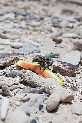 Leguan frisst an einer Wassermelone - p045m2005020 von Jasmin Sander