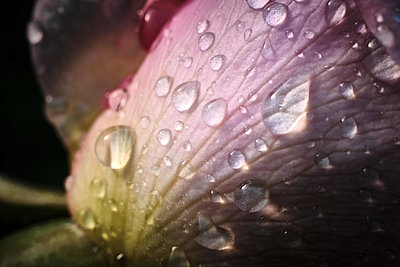Glimmering Water Droplets on Pink Rose Petal After Rainstorm - p1166m2246736 by Cavan Images