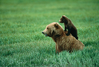 Grizzly Bear mother and cub - p8840121 by Michio Hoshino
