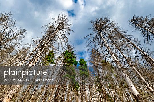 Dead spruce trees, Harz, Saxony-Anhalt, Germany - p300m2143917 von Frank Röder