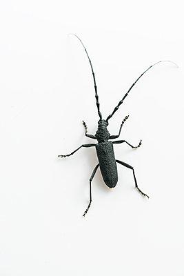 Longhorn beetle, Cerambycidae - p1437m2057038 by Achim Bunz