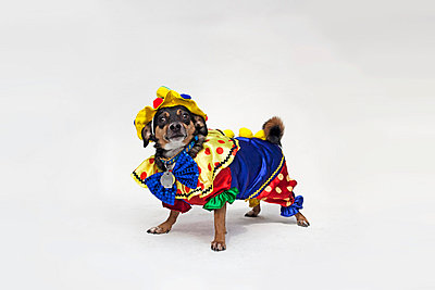 A mixed Chihuahua wearing a brightly colored clown costume - p301m731114f by Winnie Au