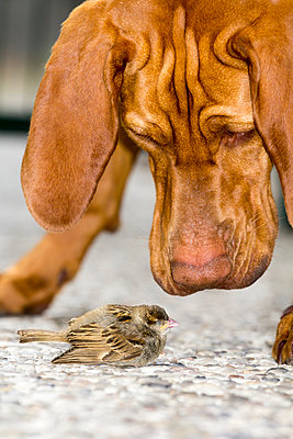 Vizsla dog sniffing at injured sparrow - p739m1042310 by Baertels