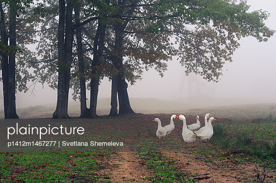 The flock of white geese on a walk - p1412m1467277 by Svetlana Shemeleva