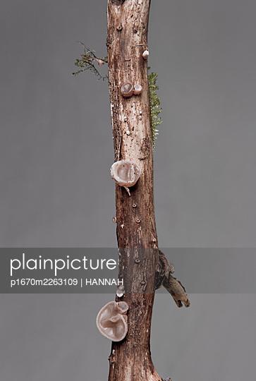 Auricularia auricula-judae - p1670m2263109 by HANNAH