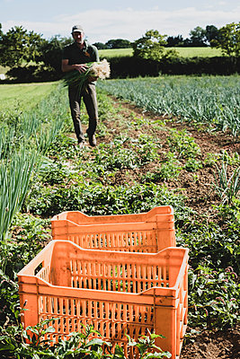 Farmer walking in a field, carrying freshly picked spring onions. - p1100m2271498 by Mint Images