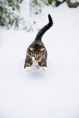 Housecat playing in the winter snow - p1166m2247111 by Cavan Images