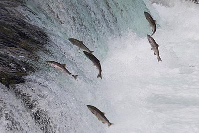 Sockeye Salmon group jumping up waterfall - p884m864544 by Matthias Breiter