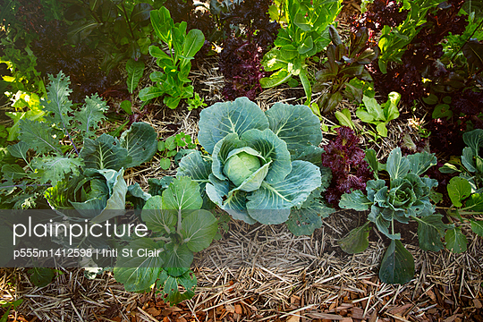 Close up of greens growing in garden - p555m1412598 by Inti St Clair