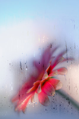 Pink flowerseen through a damp window - p1228m2064593 by Benjamin Harte