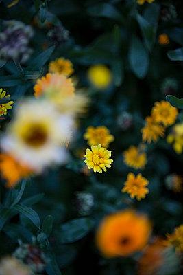 Ringelblumenbeet - p1325m1525164 von Antje Solveig
