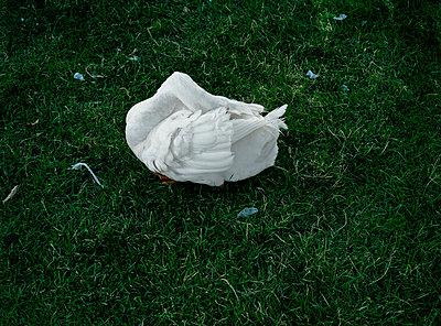 Swan - p1415m2076757 by Sophie Barbasch