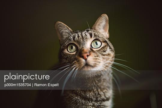 Portrait of tabby cat watching something - p300m1535704 by Ramon Espelt