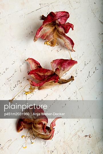 Drei vertrocknete Amaryllis Blüten - p451m2031960 von Anja Weber-Decker