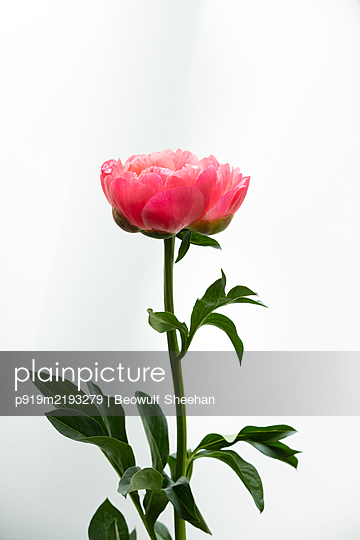 Peony flowers in front of white background - p919m2193279 by Beowulf Sheehan