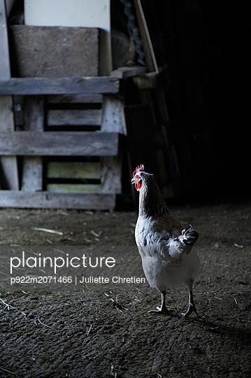 Chicken in the stable - p922m2071466 by Juliette Chretien