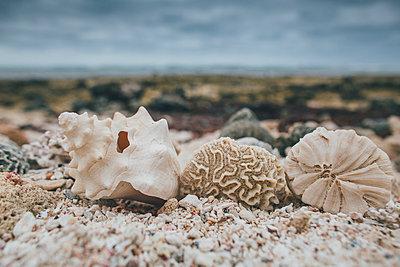 Cuba, Seashells on a beach - p300m1568049 von Gustafsson